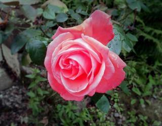 Rose Fanee Telecharger Des Photos Gratuitement
