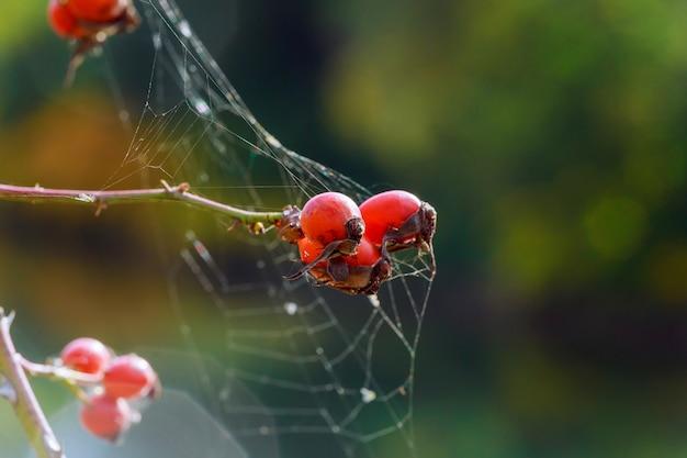 Rose hanches sont cobweb Photo Premium