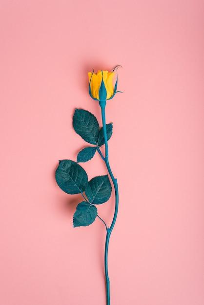 Rose jaune sur fond rose avec des feuilles bleues Photo Premium