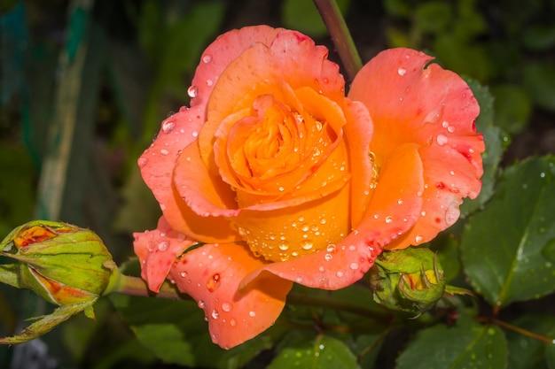 Rose orange avec des gouttes d'eau Photo Premium