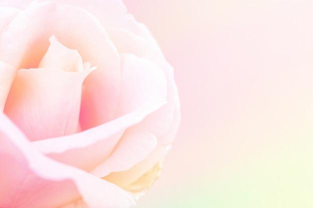 Rose rose douce Photo gratuit