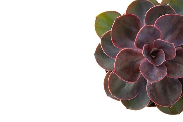 Rose succulente rose isolée echeveria. Photo Premium