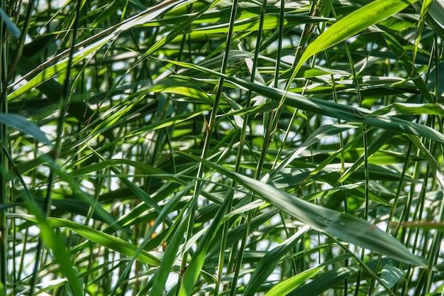 Roseau vert herbe Photo Premium