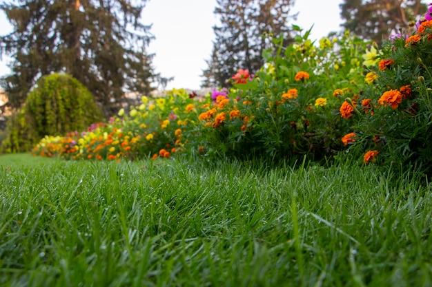 Rosée Sur La Pelouse Du Jardin, Herbe Verte Et Fleurs épanouies Photo Premium