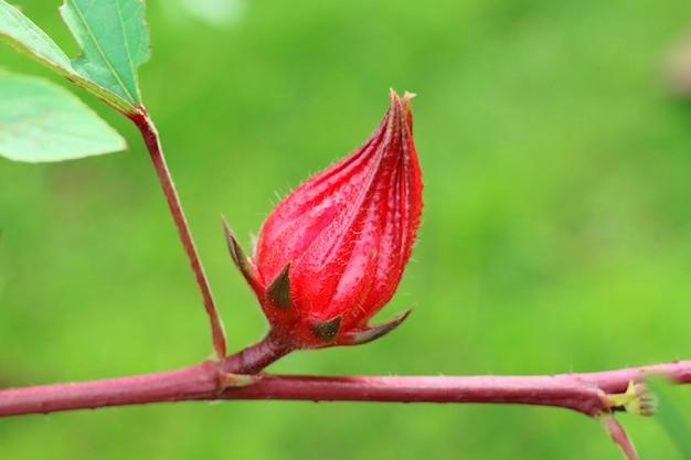 Roselle rouge fraîche, ou sorel jamaïcain, sur l'arbre. nature et concept de plante médicinale. Photo Premium