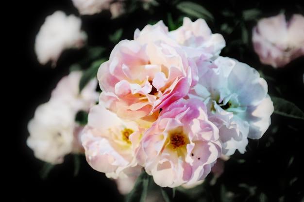 Les roses blanches fleurissent Photo Premium