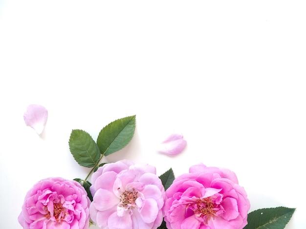 Roses roses avec des bourgeons sur fond blanc Photo Premium