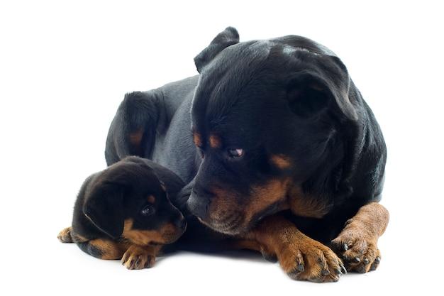 Rottweilers Sur Blanc Photo Premium