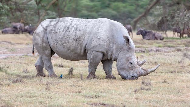 Safari - Rhinocéros Photo gratuit
