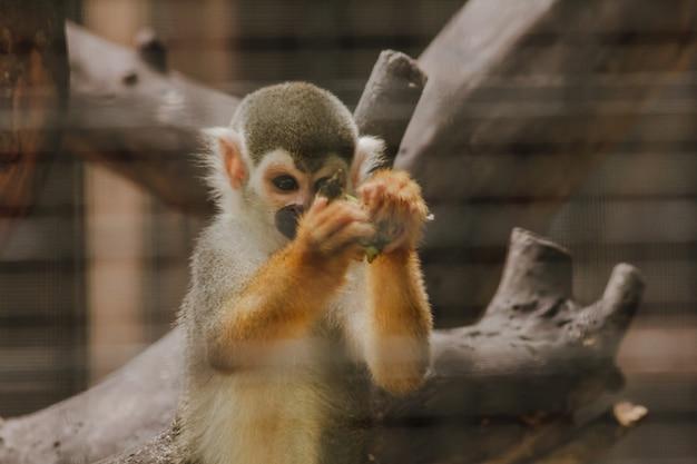 Saimiri sciureus dans une cage est un petit singe trouvé en amérique du sud. Photo Premium