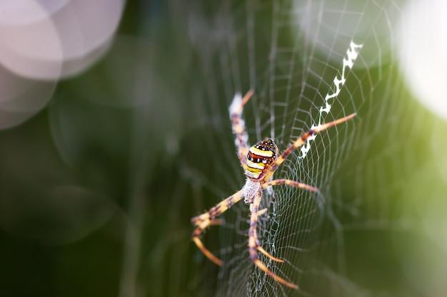 Saint andrews croise araignée sur toile d'araignée et soleil du matin. Photo Premium