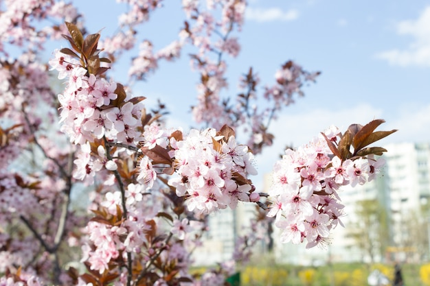 Sakura belle fleur de cerisier au printemps sur ciel bleu. Photo Premium