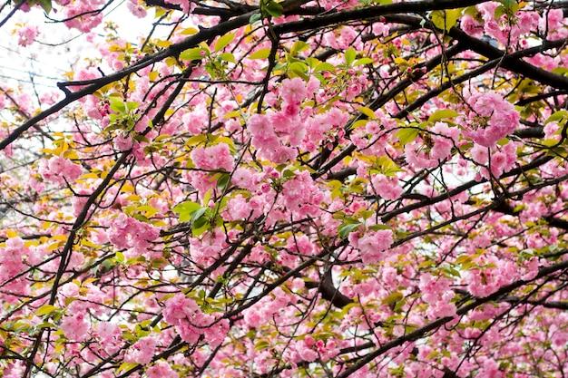 Sakura belle fleur de cerisier au printemps Photo Premium