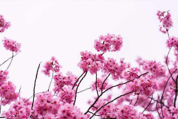 Sakura, fleur de cerisier en fleur au printemps Photo Premium