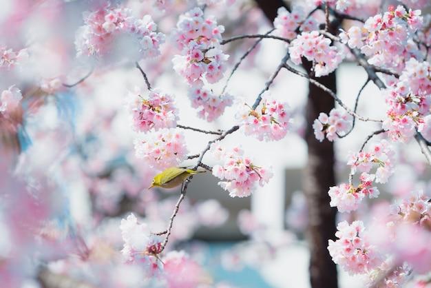 Sakura, fleur de cerisier rose au japon au printemps. Photo Premium