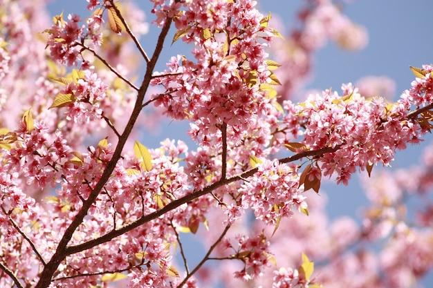 Sakura fleur rose en thaïlande Photo Premium