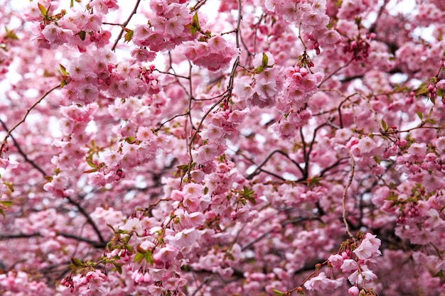 Sakura fleurit au printemps dans le parc (gros plan) Photo Premium