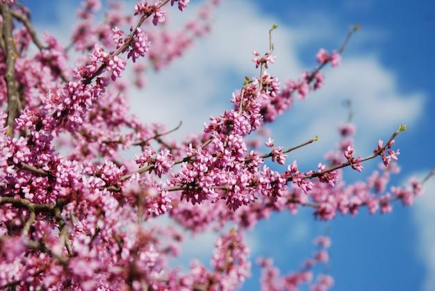 Sakura iflowers bouquet de fleurs de cerisier de printemps sur l'arbre au ciel bleu. walpaper. Photo Premium