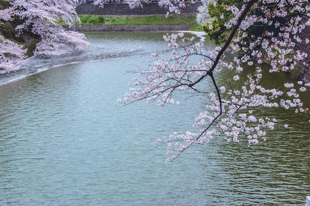 Sakura en pleine floraison et tombe dans le canal Photo Premium