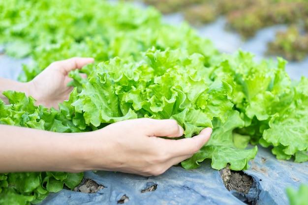 Salade de légumes hydroponiques dans des mains bienveillantes à la ferme pour la salade. Photo Premium