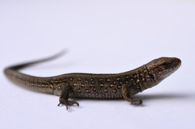 Salamandre Photo Premium