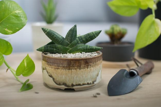 Sansevieria boncellensis en pot en céramique Photo Premium