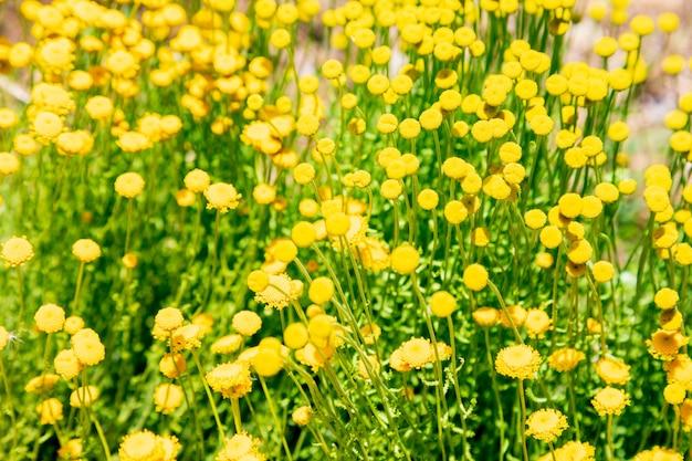 Santolina chamaecyparissus, plante médicinale sauvage traditionnelle à fleurs jaunes Photo Premium