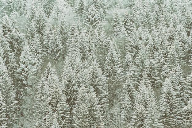 Sapins enneigés. épaisse forêt de conifères. paysage d'hiver Photo Premium