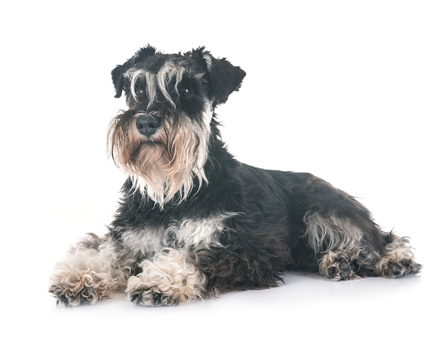 Schnauzer miniature en studio Photo Premium