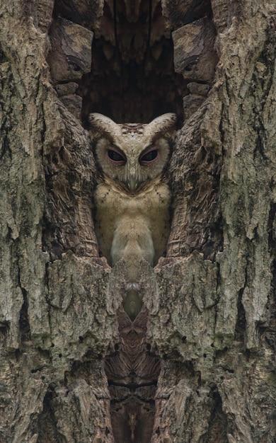 Scops hibou à collier dans un arbre creux, (retouche photo) Photo Premium
