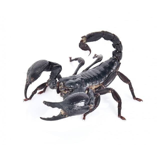 Scorpion sur fond blanc Photo Premium