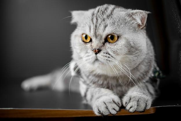 Scottish fold cat sont accroupis sur la table. Photo Premium