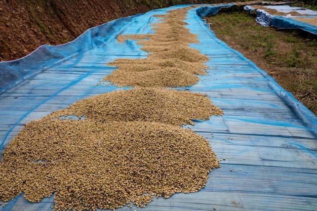 Séchage de grains de café crus sur le sol, industrie familiale locale en thaïlande Photo Premium