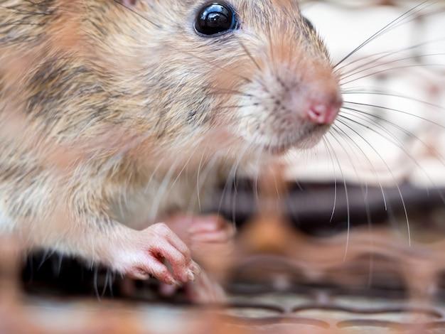 Sélectionnez la mise au point de l'ongle du rat dans le pseudo Photo Premium