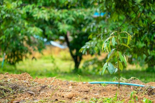 Les semis de durian des agriculteurs du sud de la thaïlande deviennent populaires. Photo Premium