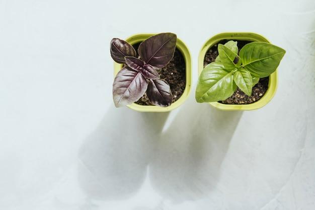 Semis De Fleurs Dans Des Pots En Plastique Vert. Basilic De Semis. Germes De Basilic. Photo Premium