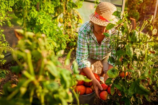 Senior agricultrice cueillette de tomates en serre à la ferme. Photo Premium