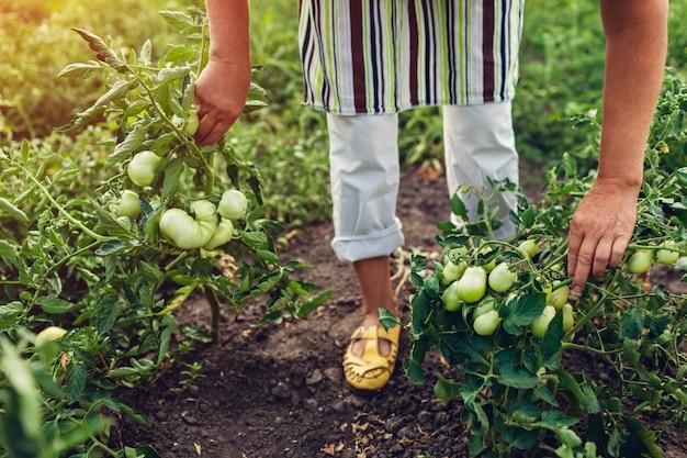 Senior agricultrice vérifiant les tomates vertes qui poussent sur la ferme. Photo Premium