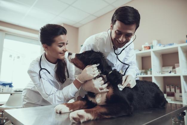 Sennenhund lèche le docteur visage vétérinaire vérifie le coeur de chien Photo Premium