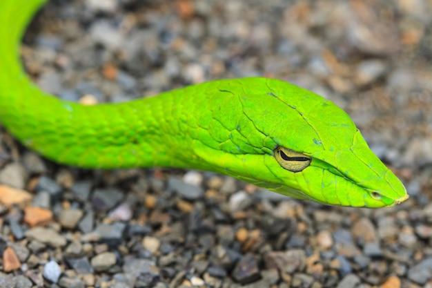 Serpent asiatique ou serpent de vigne asiatique Photo Premium