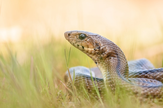 Serpent échelle (zamenis Scalaris) Affamé Photo Premium