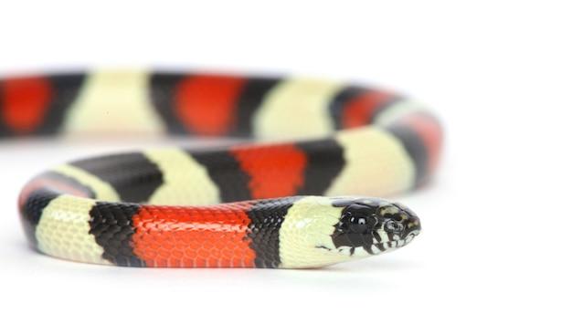 Serpent De Lait Pueblan Photo gratuit