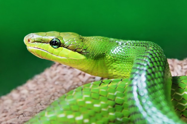 Serpent Vert Photo Premium