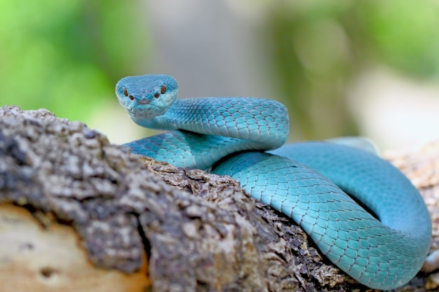 Serpents Vipères Insularis Bleus, Trimeresurus Albolabris Photo Premium