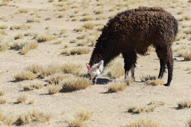 Un Seul Lama Sur Les Hauts Plateaux Andins En Bolivie Photo Premium