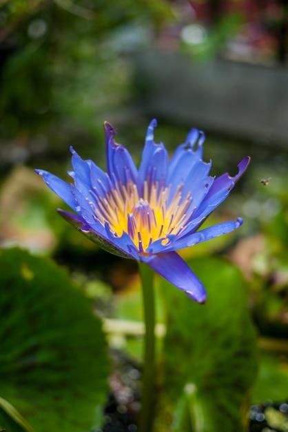 Seule couleur exotique de paix lotus Photo gratuit