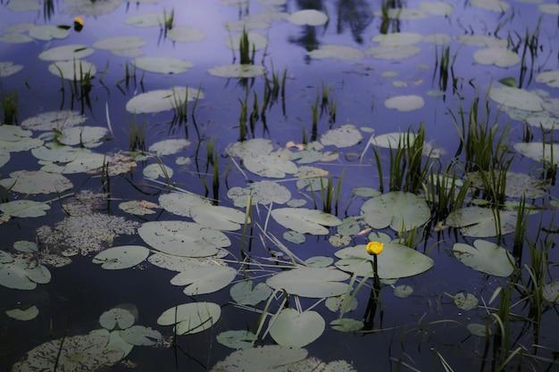 Seule Fleur Jaune Poussant Dans Un étang Photo gratuit