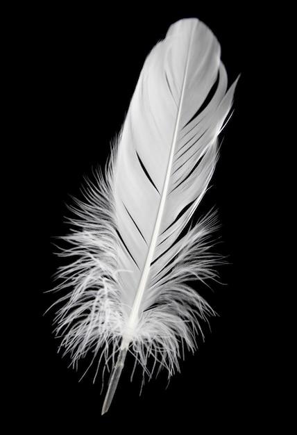 Seule plume blanche isolée sur fond noir. Photo Premium