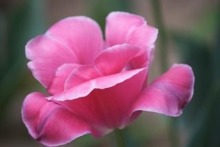 Seule rose pivoine arbustive Photo gratuit