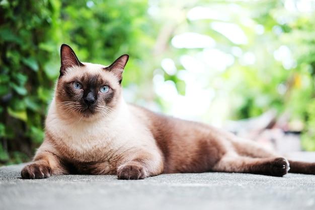 Siames chat assis et se détendre dans le jardin naturel Photo Premium